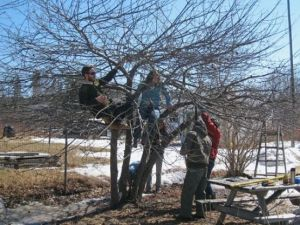 Apple tree pruning
