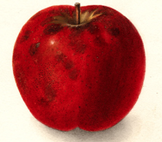 The Dula Beauty, my family apple. Picture pulled from USDA archives.