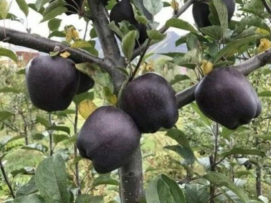 black diamond apple.jpg
