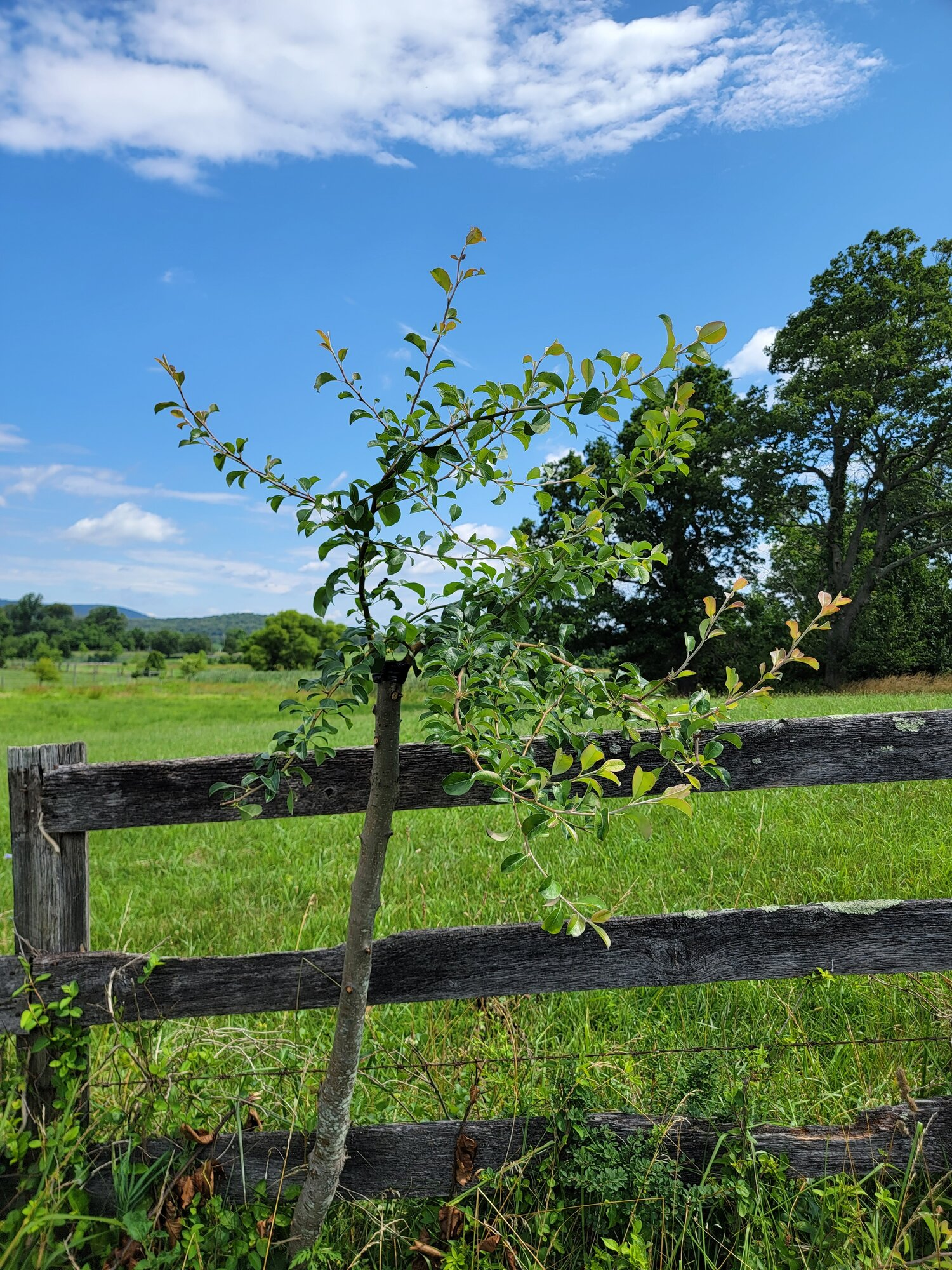Topworked fenceline callery pear to a local french heirloom cultivar. This was grafted in April of 2021